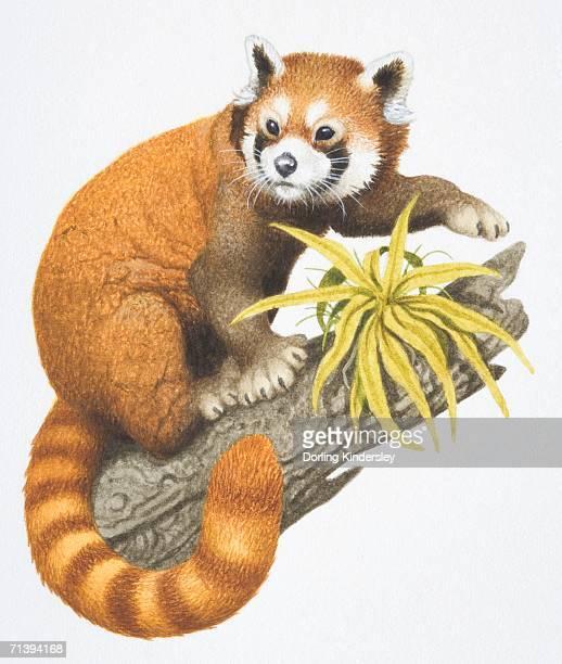 30 Meilleurs Panda Roux Illustrations Cliparts Dessins