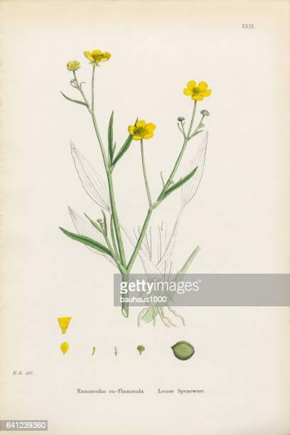 Lesser Spearwort, Ranunculus eu-Flammula, Victorian Botanical Illustration, 1863