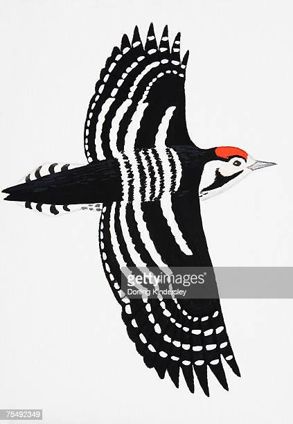 lesser spotted woodpecker (dendrocopos minor), adult male - animal limb stock illustrations, clip art, cartoons, & icons