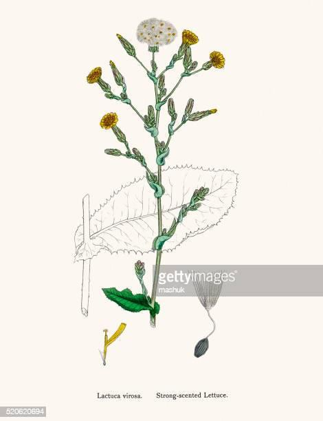 Lettuce plant 19th century illustration