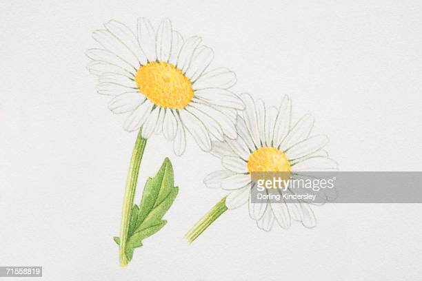 leucanthemum vulgare, marguerite or oxeye daisy. - perennial stock illustrations, clip art, cartoons, & icons