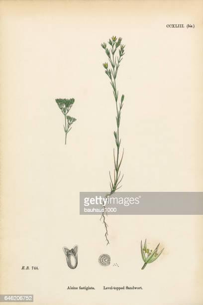 level-topped sandwort, alsine fastigiata, victorian botanical illustration, 1863 - sandwort stock illustrations, clip art, cartoons, & icons