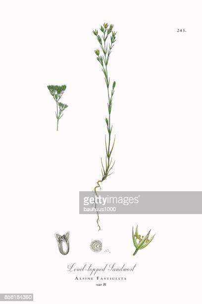 ilustrações, clipart, desenhos animados e ícones de sandwort nível-coberto, alsine fastigiata, ilustração botânica vitoriana, 1863 - chickweed