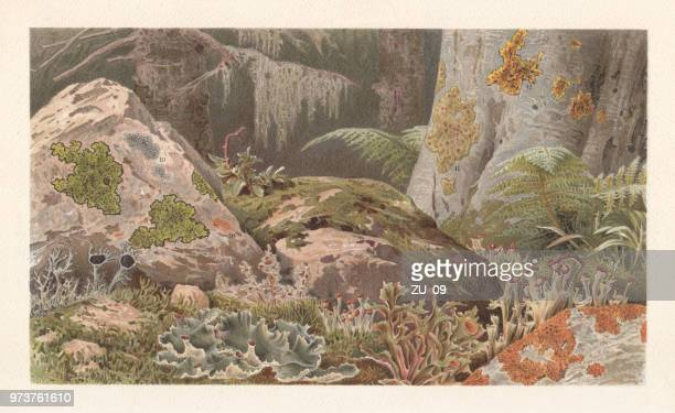 lichens, lithograph, published in 1897 - micro organism stock illustrations, clip art, cartoons, & icons