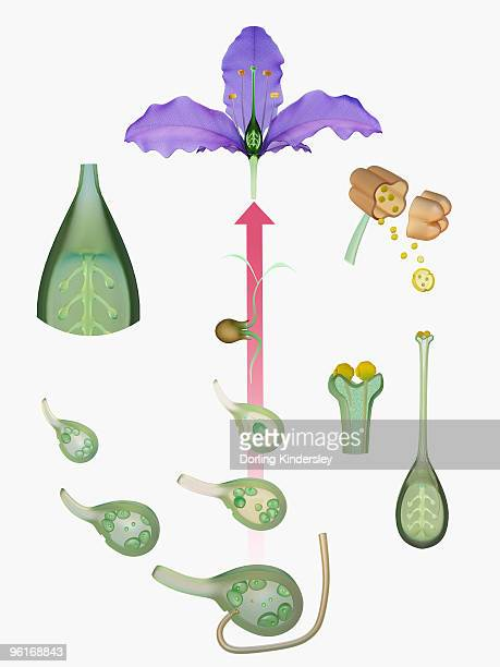 life cycle of a flowering plant - life cycle stock illustrations