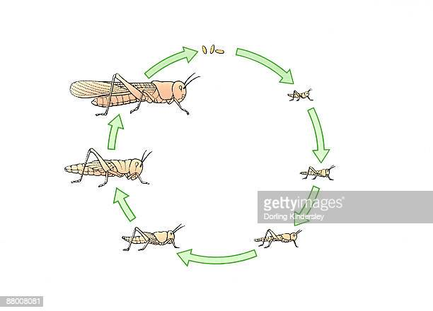 Life cycle of a locust