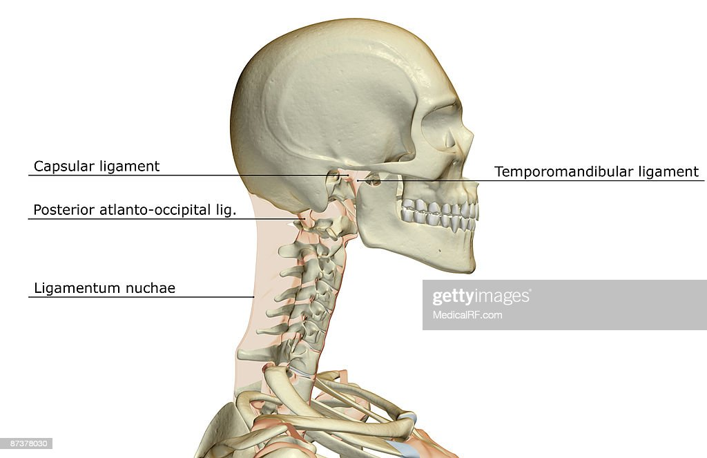 Ligaments Of The Head Stock Illustration | Getty Images