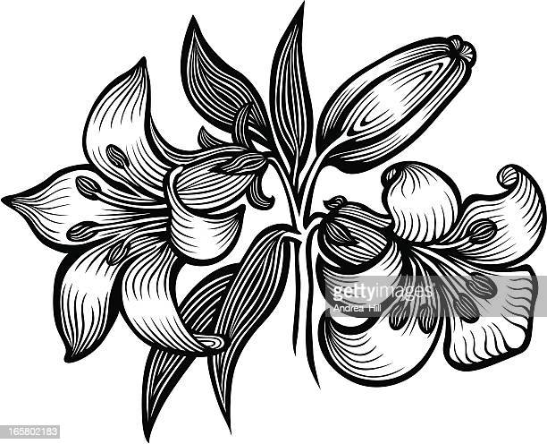 lily - lily stock illustrations, clip art, cartoons, & icons