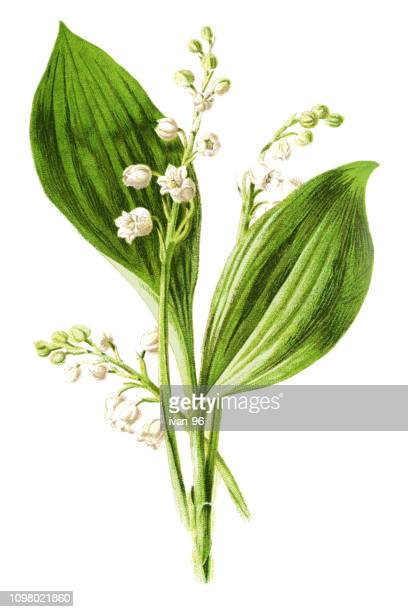 lily of the valley - botany stock illustrations