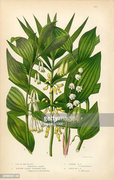 illustrazioni stock, clip art, cartoni animati e icone di tendenza di mughetto, sigillo di salomone, vittoriano, illustrazioni botanico - mughetti