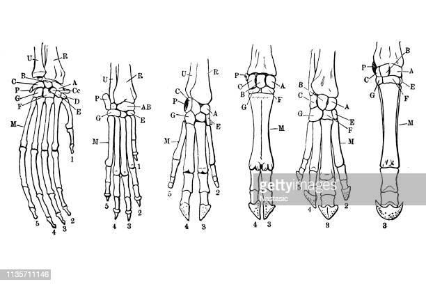 Limb Skeleton of Mammals: Orangutan, Dog, Pig, Tapir, Ox, Horse