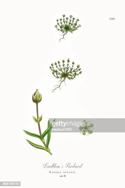 ilustrações, clipart, desenhos animados e ícones de pearlwort do lindblom, sagina nivalis, ilustração botânica vitoriana, 1863 - chickweed