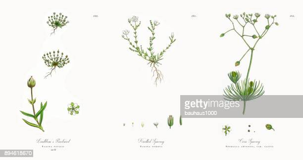 lindblom's pearlwort, sagina nivalis, victorian botanical illustration, 1863 - sandwort stock illustrations, clip art, cartoons, & icons