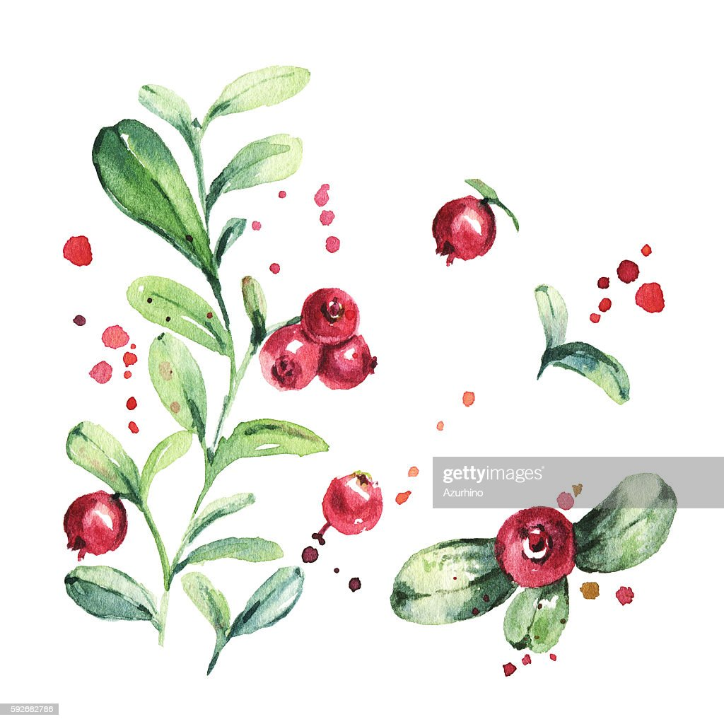 Lingonberry Foxberry Cowberry Cranberry Watercolor Painting High ...