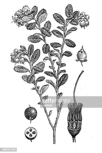 Lingonberry or cowberry (Vaccinium vitis idaea)