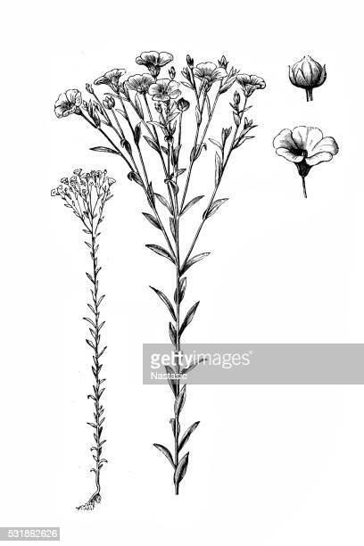 linum usitatissimum (common flax or linseed) - flax seed stock illustrations