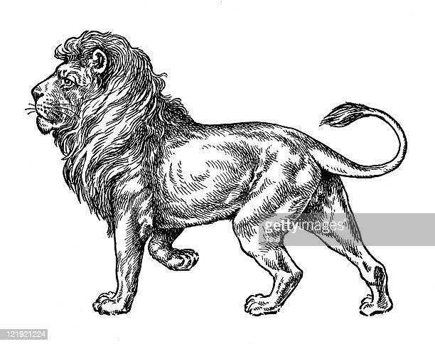 illustrations, cliparts, dessins animés et icônes de lion - lion