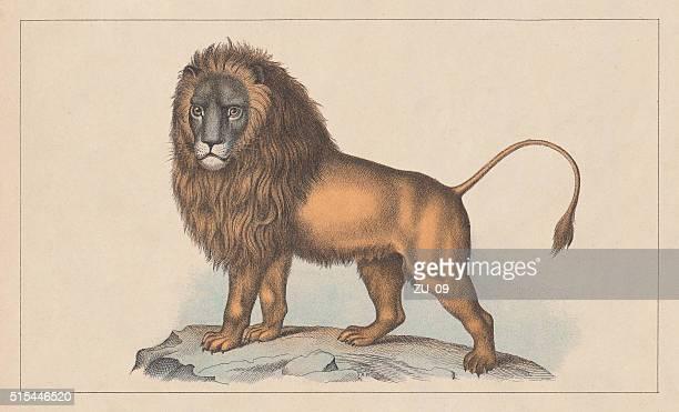 ilustrações de stock, clip art, desenhos animados e ícones de leão (panthera leo), litografia, publicado em 1873 - litografia