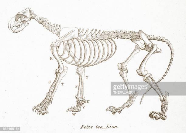 lion skeleton engraving 1803 - animal skeleton stock illustrations, clip art, cartoons, & icons