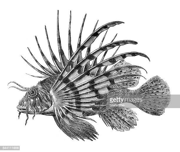 lionfish pterois fish engraving 1881 - one animal stock illustrations