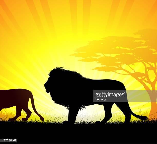 ilustrações, clipart, desenhos animados e ícones de os leões - animal mane