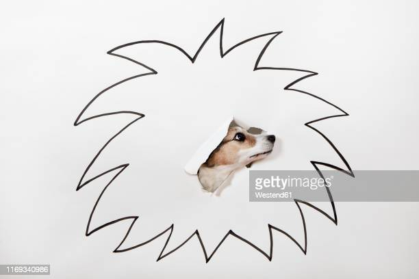 little dog with drawn lion's mane - anticipation stock illustrations