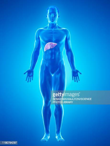 liver anatomy, illustration - hepatitis stock illustrations
