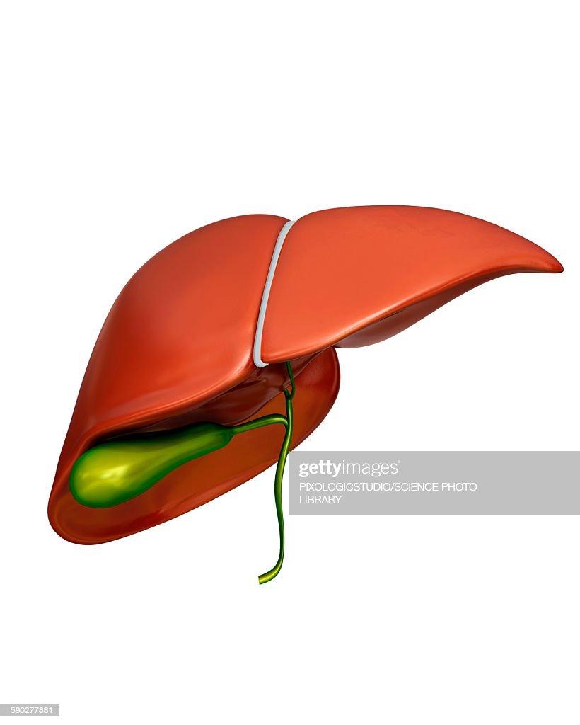 Liver And Gall Bladder Illustration Stock Illustration Getty Images