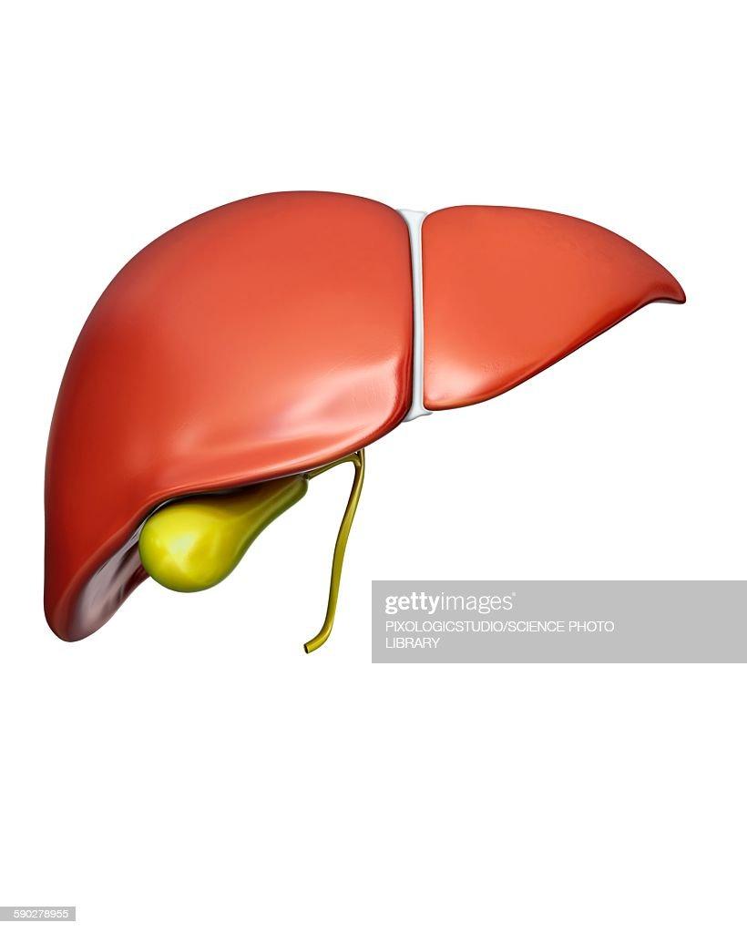 Liver and gall bladder, illustration : stock illustration