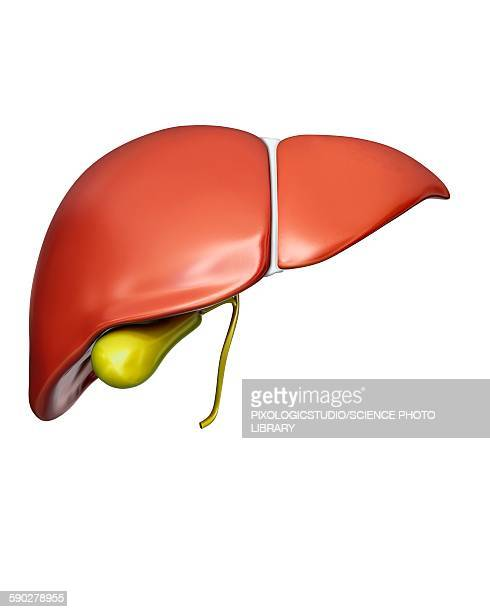 liver and gall bladder, illustration - human liver stock illustrations, clip art, cartoons, & icons