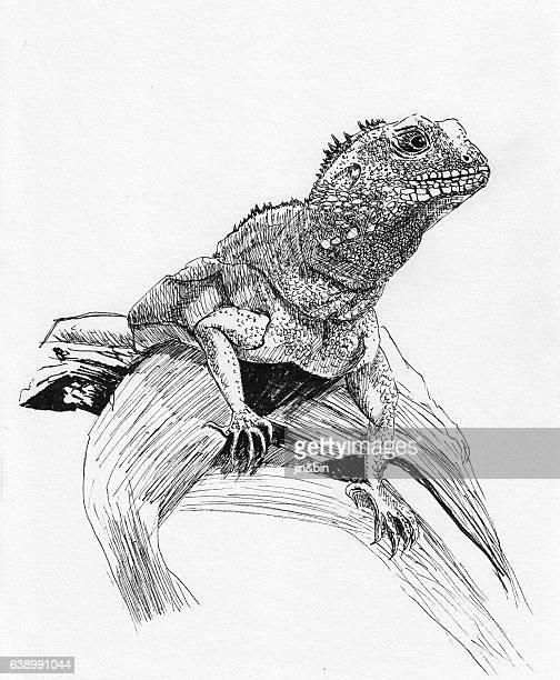 ilustraciones, imágenes clip art, dibujos animados e iconos de stock de lizard sketch hand drawn illustration on white background - iguana