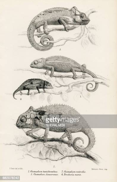lizards engraving 1887 - chameleon stock illustrations, clip art, cartoons, & icons