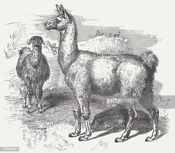 Llama - by Robert Kretschmer, wood engraving, published in 1875