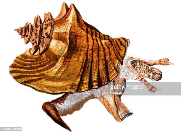Lobatus gigas, originally known as Strombus gigas, commonly known as the queen conch, is a species of large edible sea snail