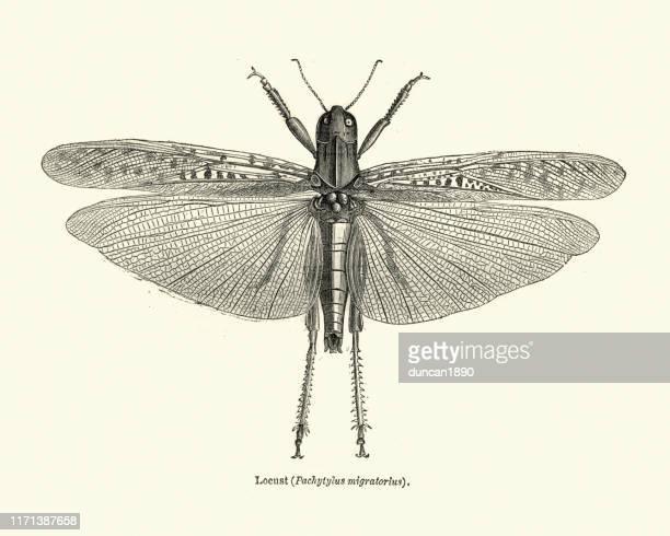 locust with its wings spread - locust stock illustrations