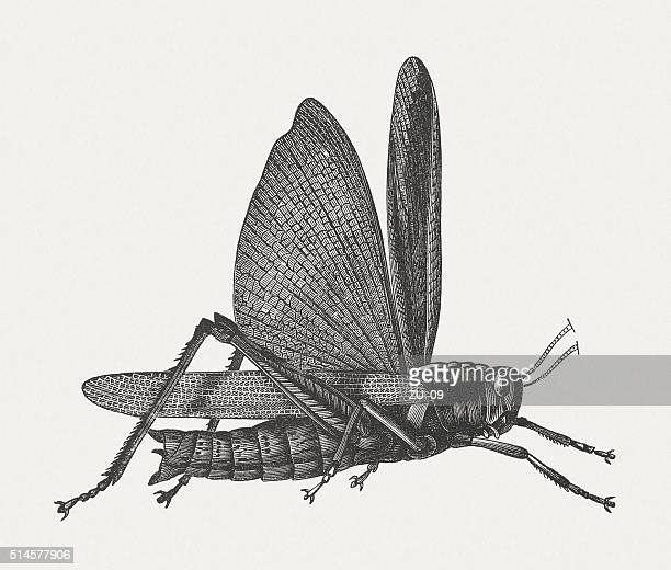 Locust (Acrididae), wood engraving, published in 1880