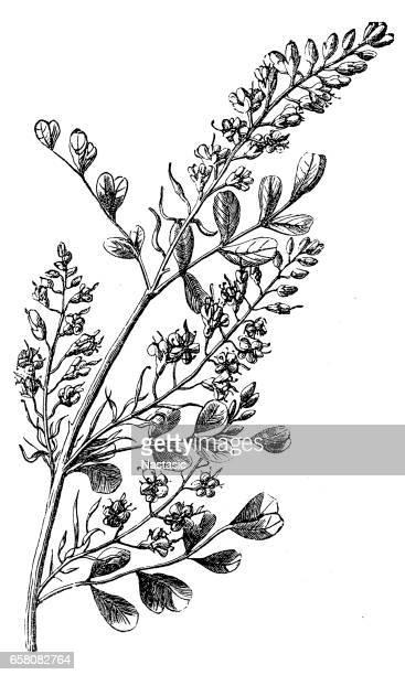 ロッグウッド (haematoxylon campechianum) - ユーカリの木点のイラスト素材/クリップアート素材/マンガ素材/アイコン素材