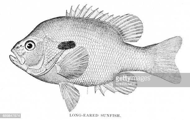 ilustraciones, imágenes clip art, dibujos animados e iconos de stock de pez sol orejas largas grabado 1898 - pez luna pez
