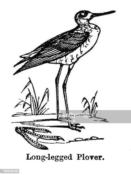 long legged plover - webbed foot stock illustrations, clip art, cartoons, & icons