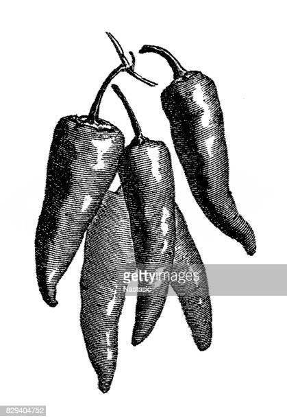 Long Peppers (Capsicum longum)