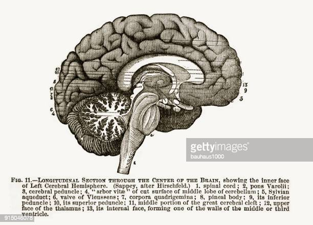 longitudinal section through the center of the human brain engraved illustration, 1880 - optic nerve stock illustrations, clip art, cartoons, & icons