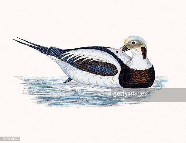 long-tailed oldsquaw duck waterfowl bird - sauk river stock illustrations, clip art, cartoons, & icons