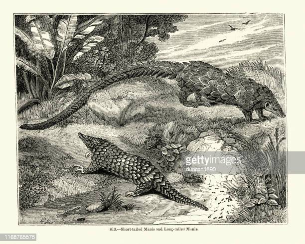 illustrations, cliparts, dessins animés et icônes de pangolin à longue queue (phataginus tetradactyla) et manis à queue courte - pangolin