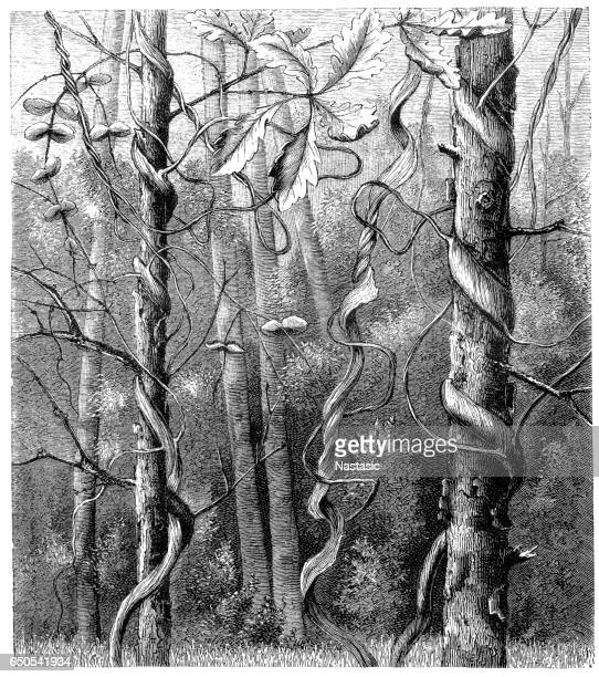 lonicera ciliosa (orange honeysuckle or western trumpet honeysuckle) - arrowwood stock illustrations, clip art, cartoons, & icons