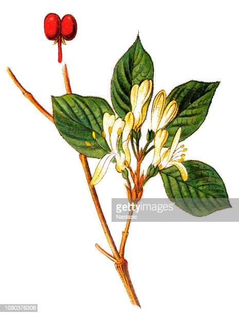 lonicera periclymenum, common names honeysuckle, common honeysuckle, european honeysuckle or woodbine - arrowwood stock illustrations, clip art, cartoons, & icons