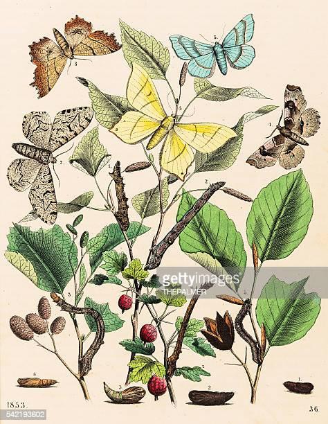 Looper moths butterflies engraving 1853