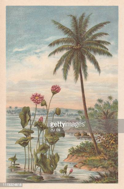 lotus flower and coconut palm, chromolithograph, published in 1894 - lithograph stock illustrations