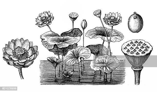 ilustrações, clipart, desenhos animados e ícones de flor de lótus (nelumbo nucifera) - organismo aquático