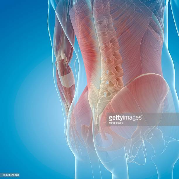 Lower Back Muscles Stock Illustrations And Cartoons Getty Images