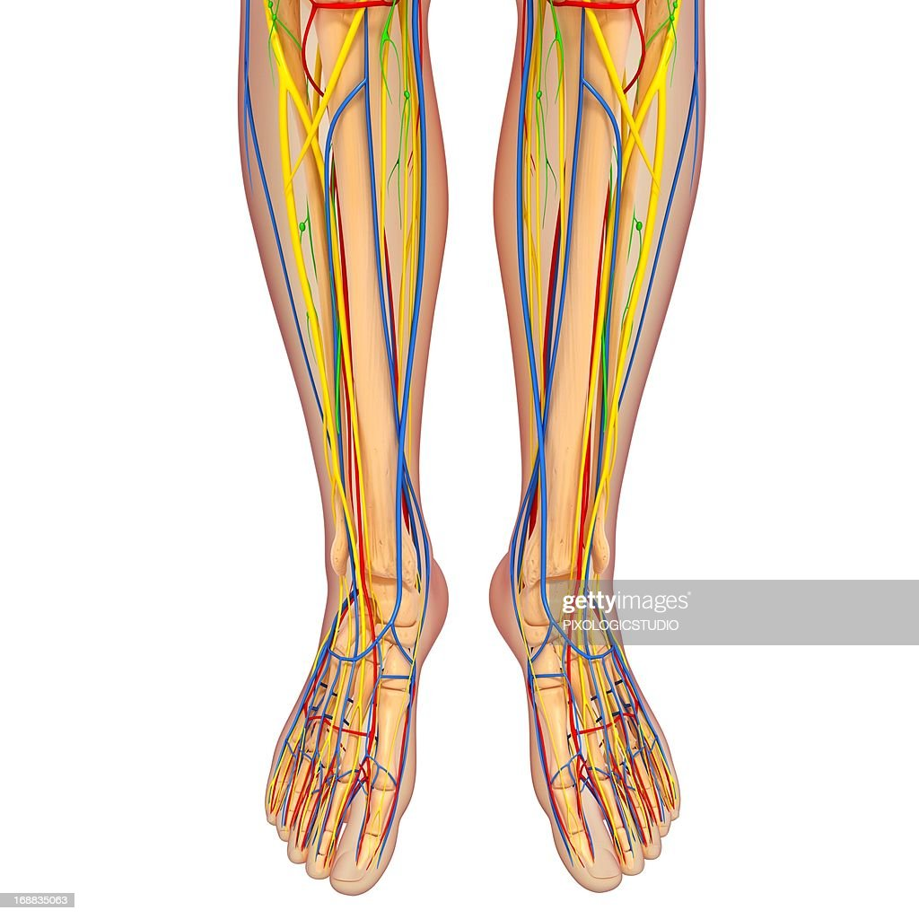 Lower Body Anatomy Artwork Stock Illustration Getty Images
